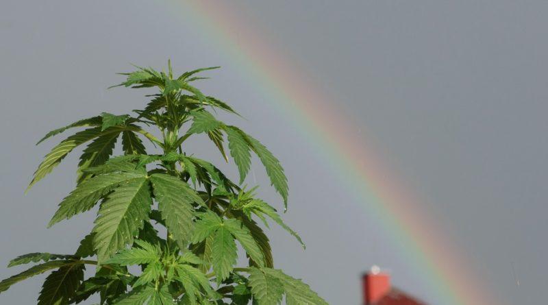 20 aprile marijuana